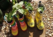 Dwarf sunflowers growing in wellington boots.