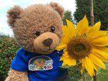 Sunflower grown in Sheffield.